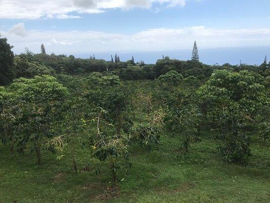 Holualoa, HI: コーヒーとこの景色がいただけます。