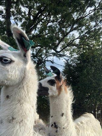 Middle England Farm Alpacas照片