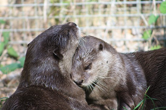 Trinity, UK: Asian short clawed otters