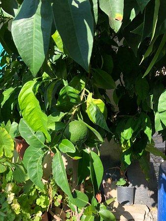 Lania, Кипр: Апельсин на ветке