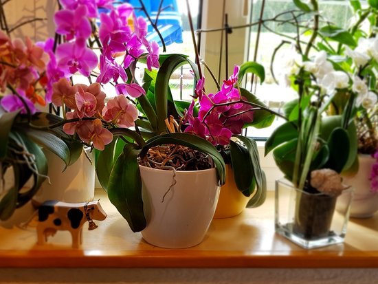 Montfaucon, Sveits: orchids on the windowsill (with cow)