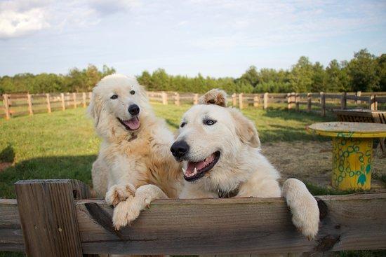 Rutherfordton, NC: farm dogs
