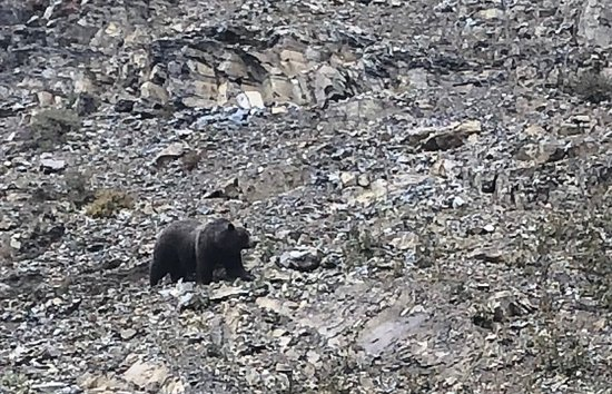 Crypt Lake Trail: CARRY BEAR SPRAY! This grizzly, thankfully, was not particularly interested in us.