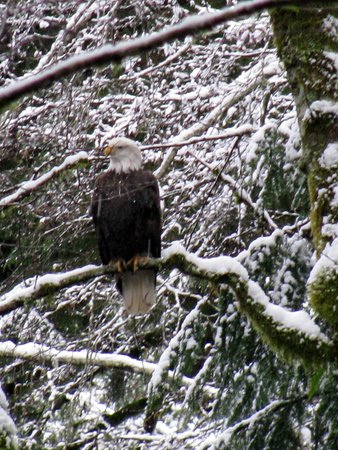 Squamish, Canada: Eagle in woods of CoHo park