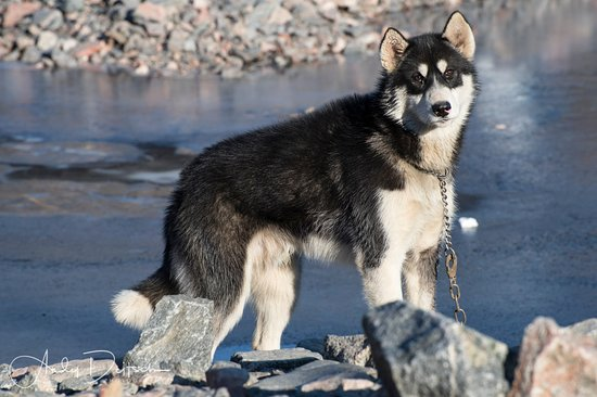 Ittoqqortoormiit, Greenland: Sled dog