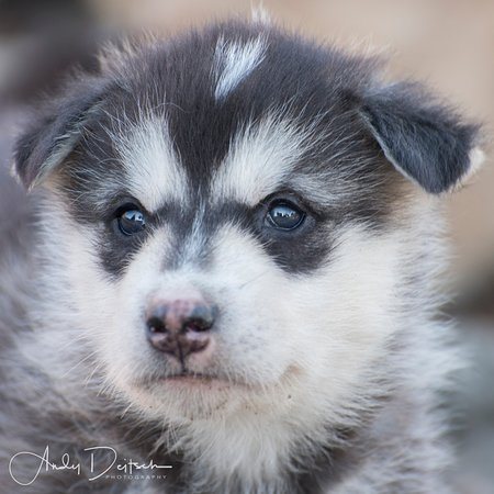 Ittoqqortoormiit, Greenland: Sled dog pup