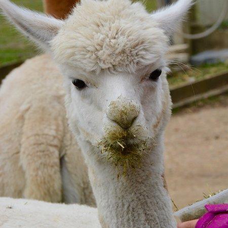 Trelawn Alpacas 사진