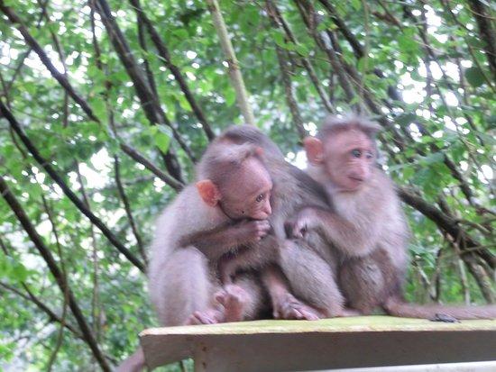Periyar National Park: 自然保護エリア外にいる猿