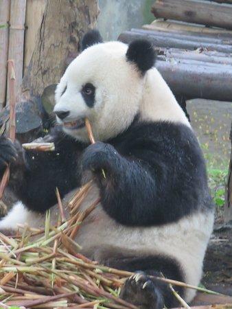 Private Chengdu Day Tour: Giant Pandas and the Jinsha Site Museum: Panda eating bamboo