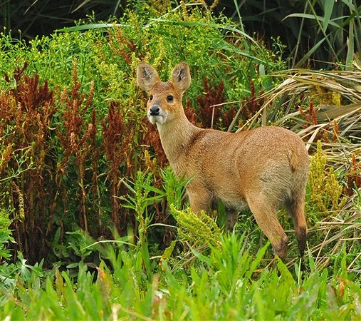 Titchwell, UK: Chinese water deer on the Meadow Trail