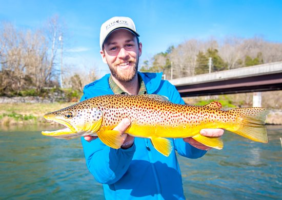 Linville, NC: Brown trout on the South Holston River