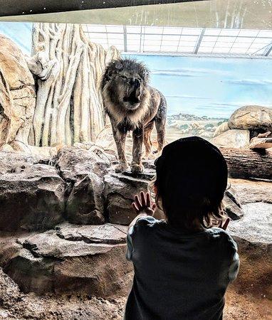 Milwaukee County Zoo: A Roaring Lion