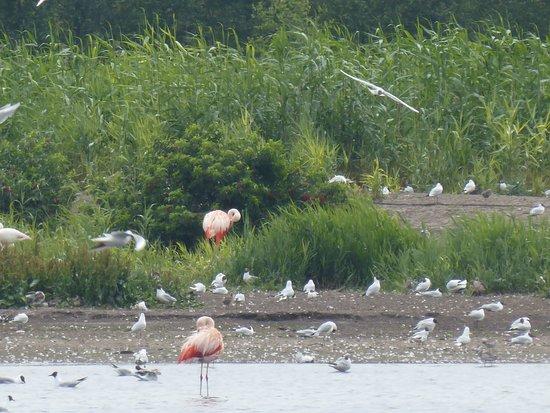 Vreden, Alemania: Flamingos in freier Natur