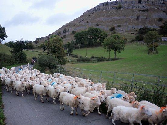 Shropshire, UK: Sheep near Trevor rocks