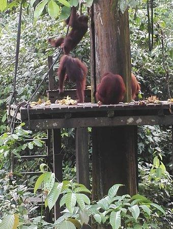 Sepilok Orangutan Sanctuary: Feeding time !