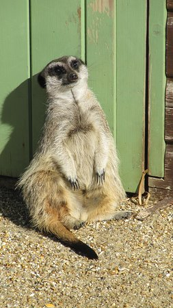 Monkey Haven: Meerkat Just chilling out