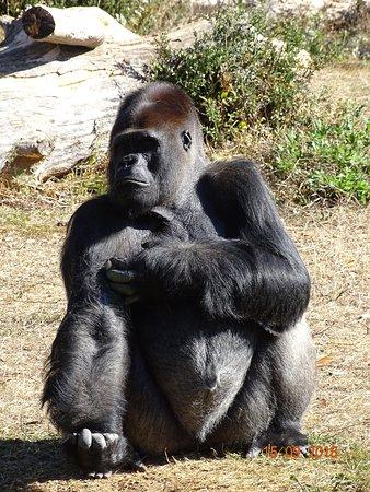 La Vallee Des Singes Dominant Gorilla