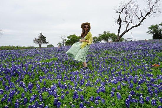 The Beauty Of Bluebonnet In Ennis Texas Picture Of Bluebonnet