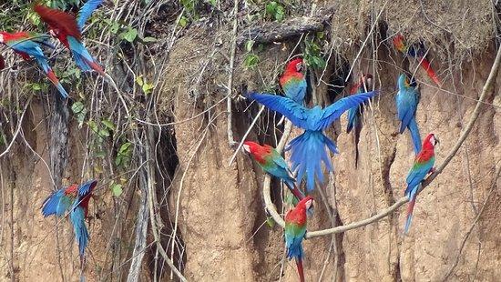 Chuncho Macaw Clay Lick (Tambopata National Reserve) - All