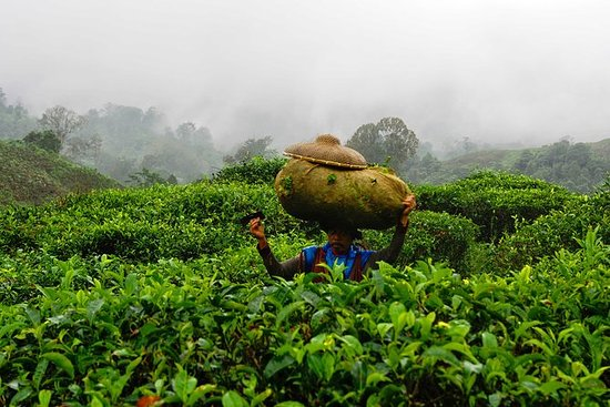 Harvesting tea and making tea drink