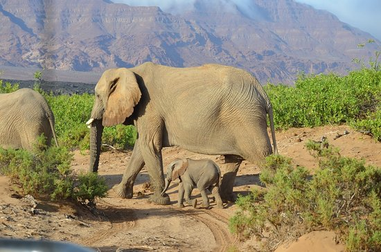 Swakopmund, Namibia: Desert Elephants in the springs of the Ugab in Damaraland