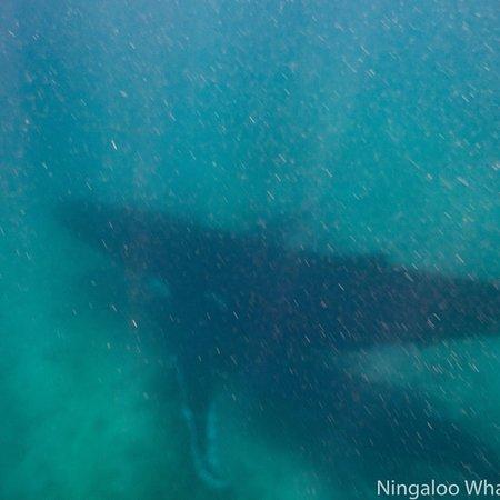 024763d0f9609 photo0.jpg - Picture of Ningaloo Whaleshark Swim