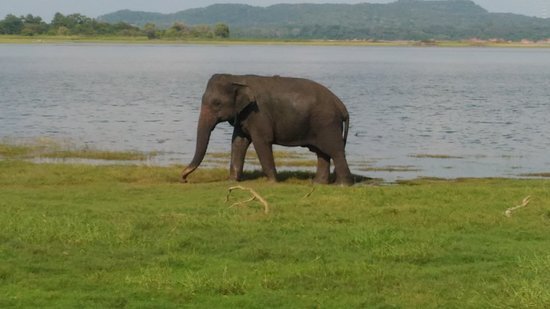 Minneriya, Sri Lanka: Beauty of Asian elephant....