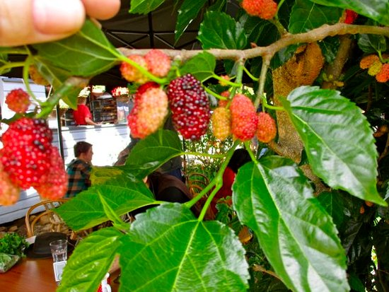 Foraging Fresh Mulberries Picture Of
