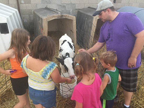 Ortonville, MI: Young calves are always a hit and so friendly