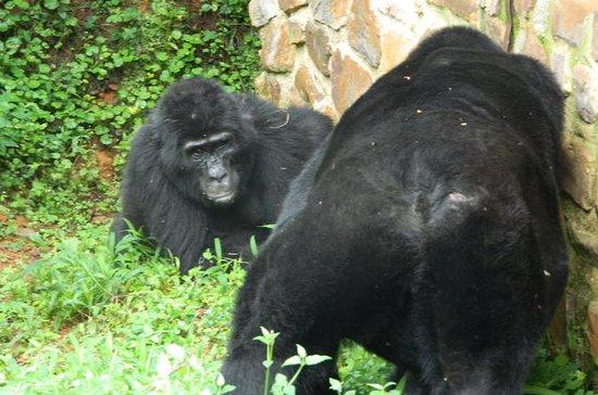 5 dage gorillaer og chimpanse tracking