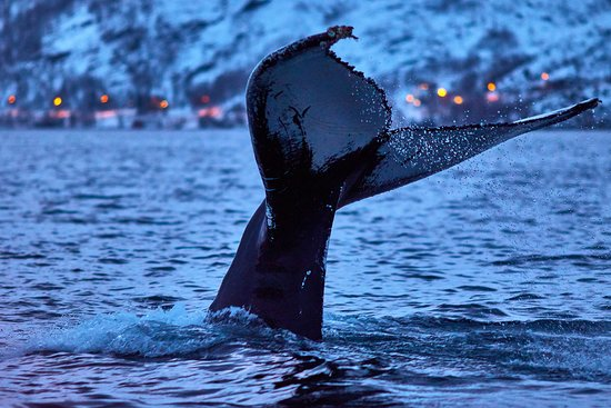Nord-Lenangen, Norge: Whale watching in Magic Skjervoy