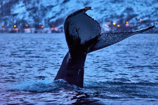 Nord-Lenangen, นอร์เวย์: Whale watching in Magic Skjervoy
