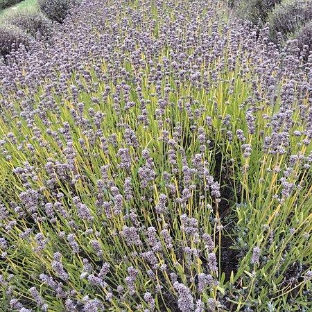 Me & Friends - Picture of Purple Haze Lavender Farm, Sequim