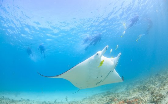 Coral Bay, Australia: Majestic Manta Ray