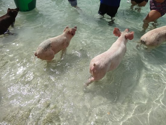 Berry Islands: Swimming pigs