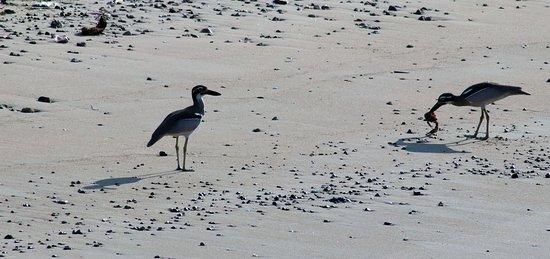 Beach Thick Knee