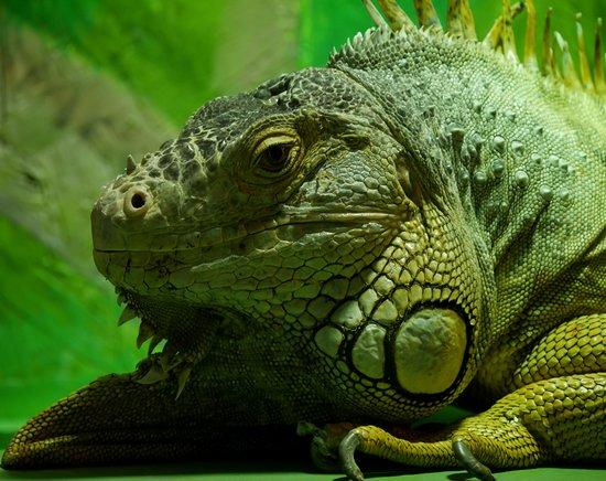 Borth Wild Animal Kingdom: Iguana