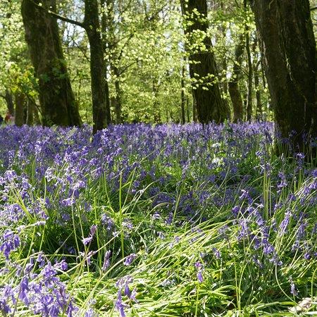 Coton Manor Gardens: bluebell time