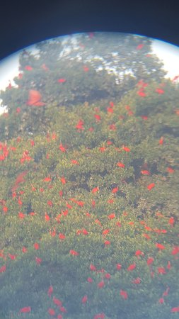 St. Ann's, Trinidad: Scarlet Ibis returning to nest