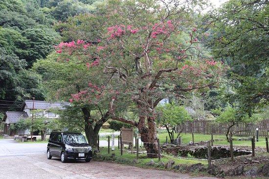 Asago, Japón: サルスベリ