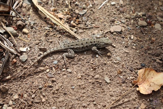Stanford, Californië: Lizard!