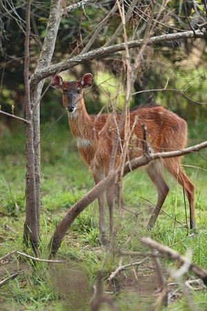 Rubondo Island, Tansania: Bush buck