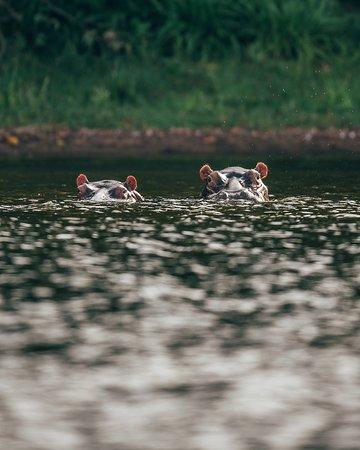 Rubondo Island, Tanzania: Hippos