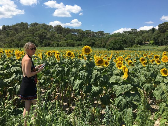 Terroirs Tours: Our delightful solo traveller had always wanted to see the beautiful sunflower fields up close