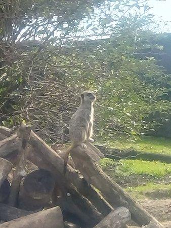 Manor Wildlife Park: Meerkat