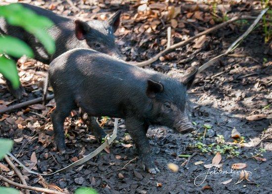 Babcock Ranch Preserve: wild piglets