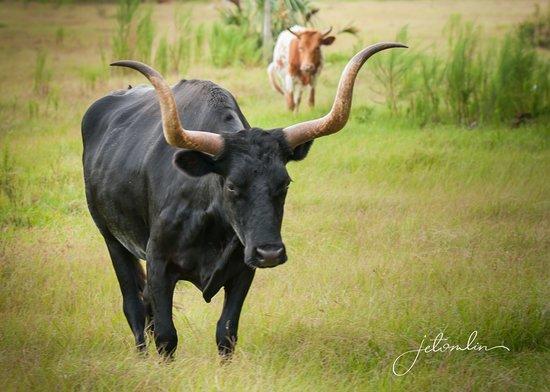 Babcock Ranch Preserve: cracker cattle