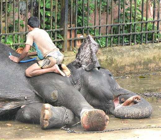 XXX (Tour): The elephants are scrubbed from head to foot using coconut husks