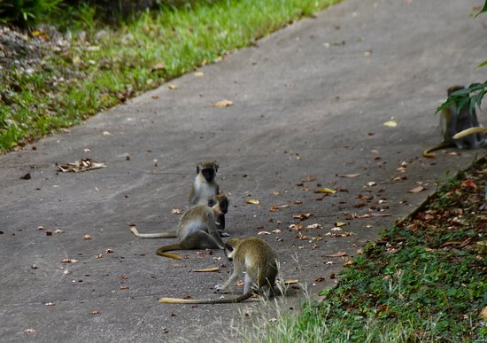 Orange Hill, Barbade : Green Monkeys
