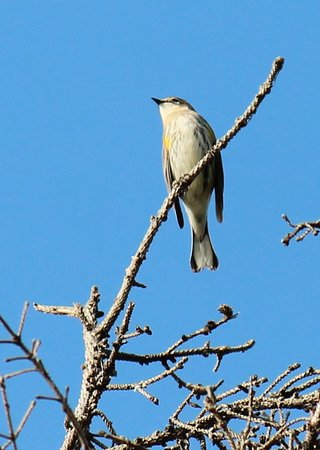 Hackensack, Миннесота: Yellow-rumped warbler.